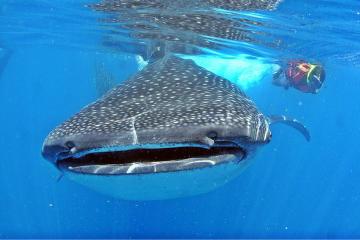 tiburo ballena