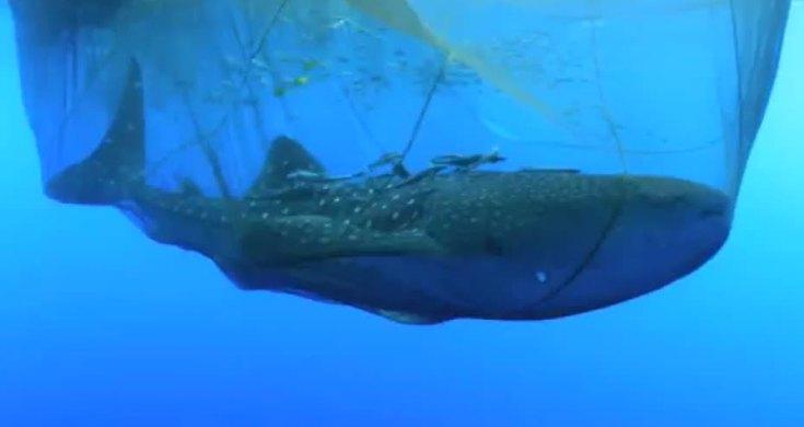 Rescatan a un tiburon ballena de una red de pesca