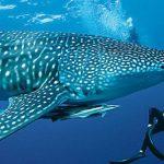 Tiburon ballena colabora con un buzo (HD)