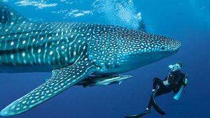 tiburon ballena buzo