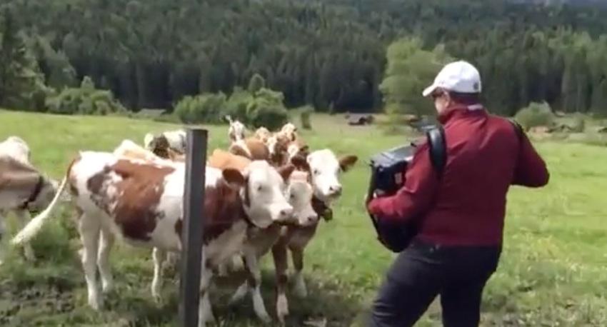 Vacas escuchando el acordeón
