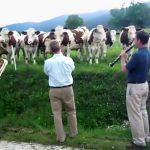 Jazz para vacas