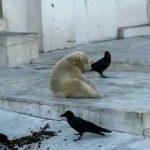 Cuervos vacilan a un joven oso polar