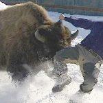 Bisonte atacando a turistas