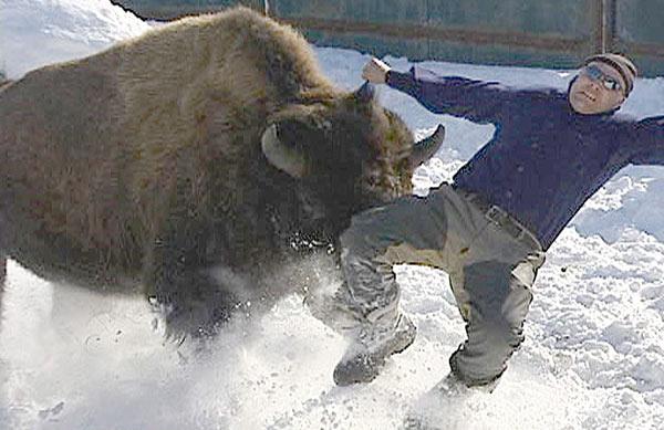 bisonte atacando