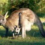 Documental – Canguros Grises de Australia
