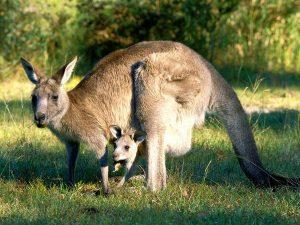 canguro gris
