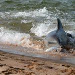 Delfines hidroplaneando para cazar en Australia (HD)