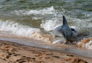 delfin cazando playa