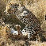 Dos leopardos peleando a muerte