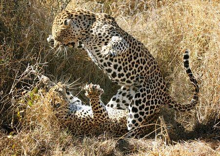 dos-leopardos-peleando