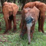 Santuario de elefantes: elefantes corriendo para recibir a una cria rescatada