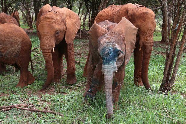 elefante herido