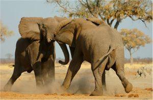 elefantes peleando