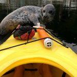 Foca sube a dar una vuelta en kayak