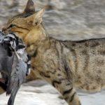 Gato salvaje cazando pajaros (HD)