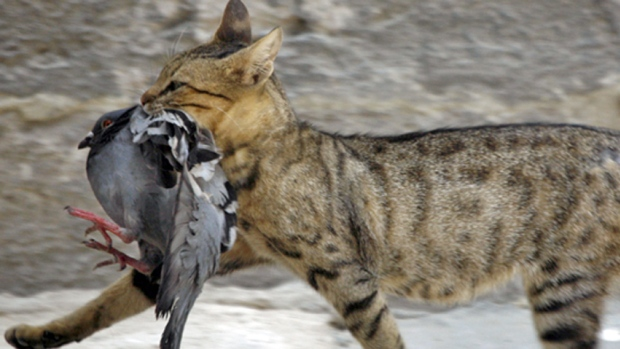 gato cazando pajaro
