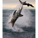Gran tiburon blanco cazando leones marinos (BBC Earth)
