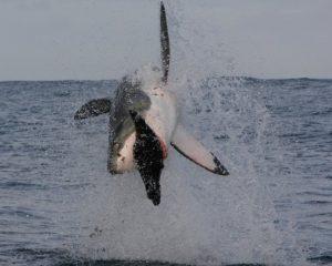 gran tiburon blanco cazando