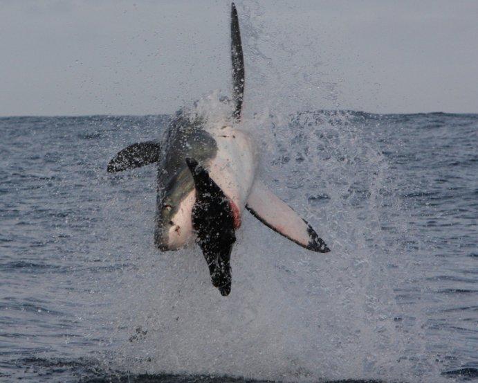 Gran tiburon blanco cazando en slow motion (HD)