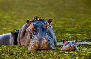 hipopotamo okavango