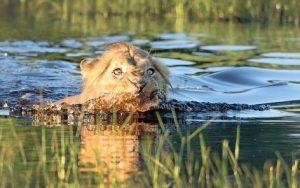 leon cruzando rio
