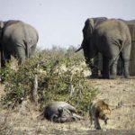 Elefante rescatando a un bufalo de los leones