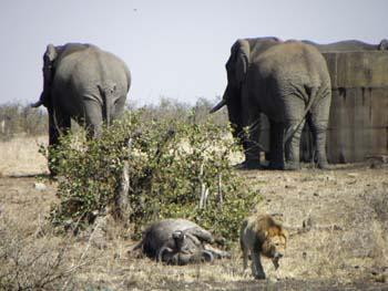 leon elefante bufalo