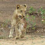 Cuando una leona juega con un bebe ciervo