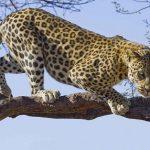 Leopardo cazando un buho