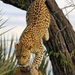 Elefante espantando a hienas que acosaban a leopardos