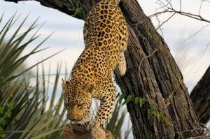 leopardo arbol