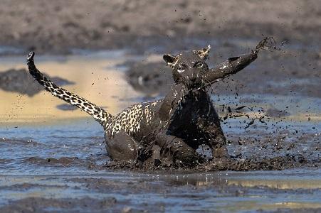 Leopardo cazando un pez en Botswana