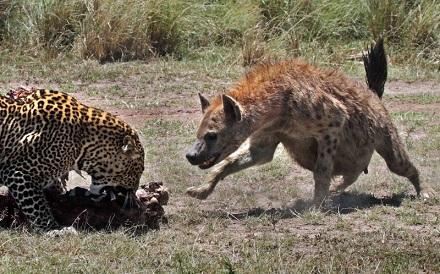 leopardo hiena