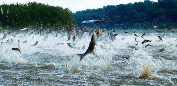 miles peces saltando a la vez rio