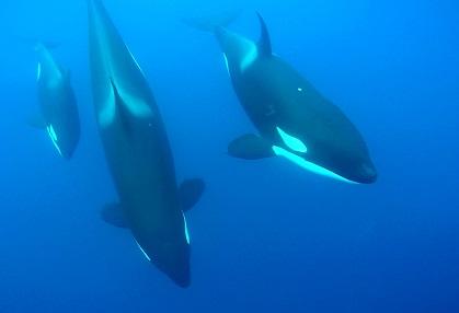 Orcas siguiendo un bote… ¡visto bajo el agua!
