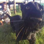 Joven pantera jugando con su cuidador