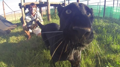 pantera jugando