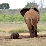 Rescate de una cría de elefante