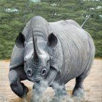 Rinocerontes despertando a los leones con un buen susto