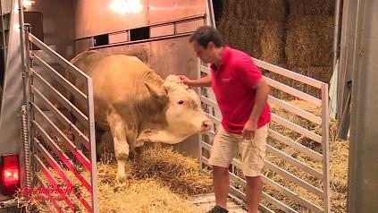 Vaca feliz cuando la sacan de su establo diminuto
