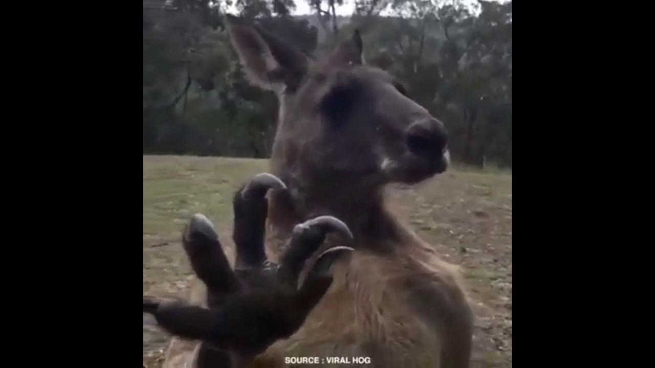 Canguro vuelve despues de haber sido golpeado