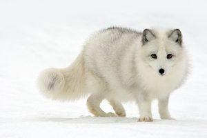 zorro-artico