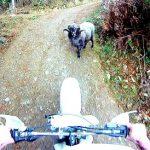 La cabra furiosa ataca a un motorista en el bosque