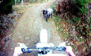 cabra furiosa ataca motorista