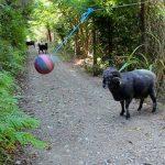 La cabra furiosa encuentra una bola colgante