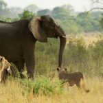 Elefante defiende a su cria ante unos leones