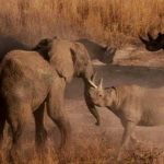 Rinoceronte y elefante peleando