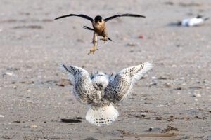 halcon peregrino buho de las nieves