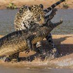 El jaguar, rey de la ribera, cazando un caiman